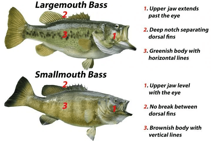 difference Between Largemouth Bass and Smallmouth Bass