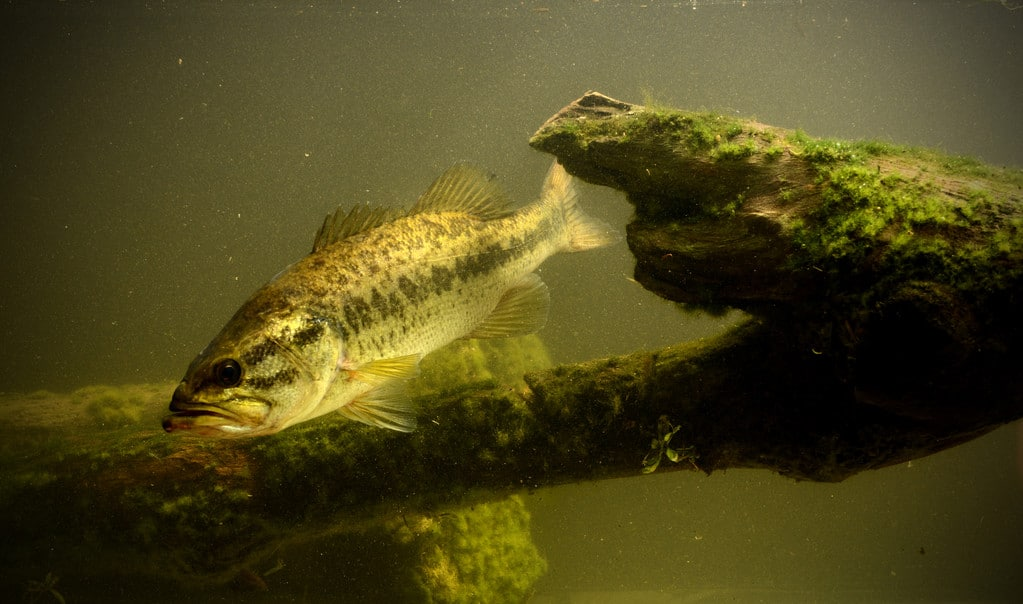 largemouth bass fish underwater in lake with algae
