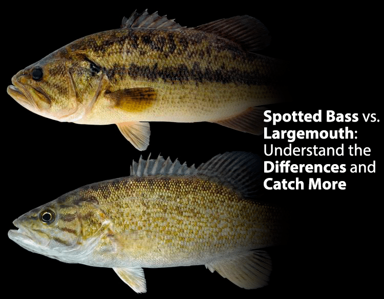Spotted Bass vs. Largemouth: Understand the Differences and Catch More