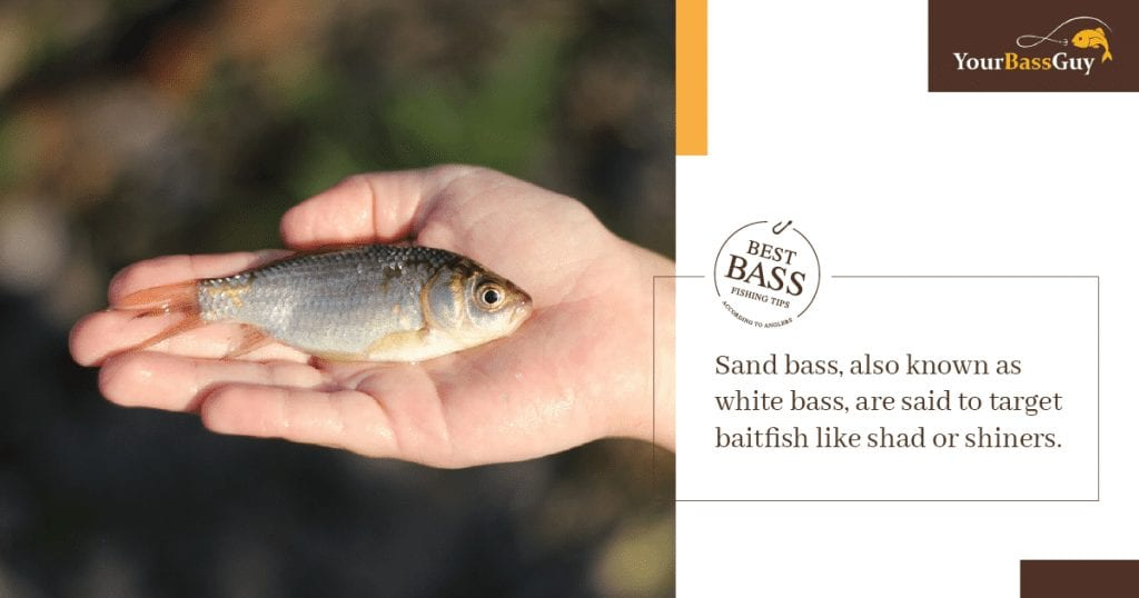 What Do Sand bass Eat