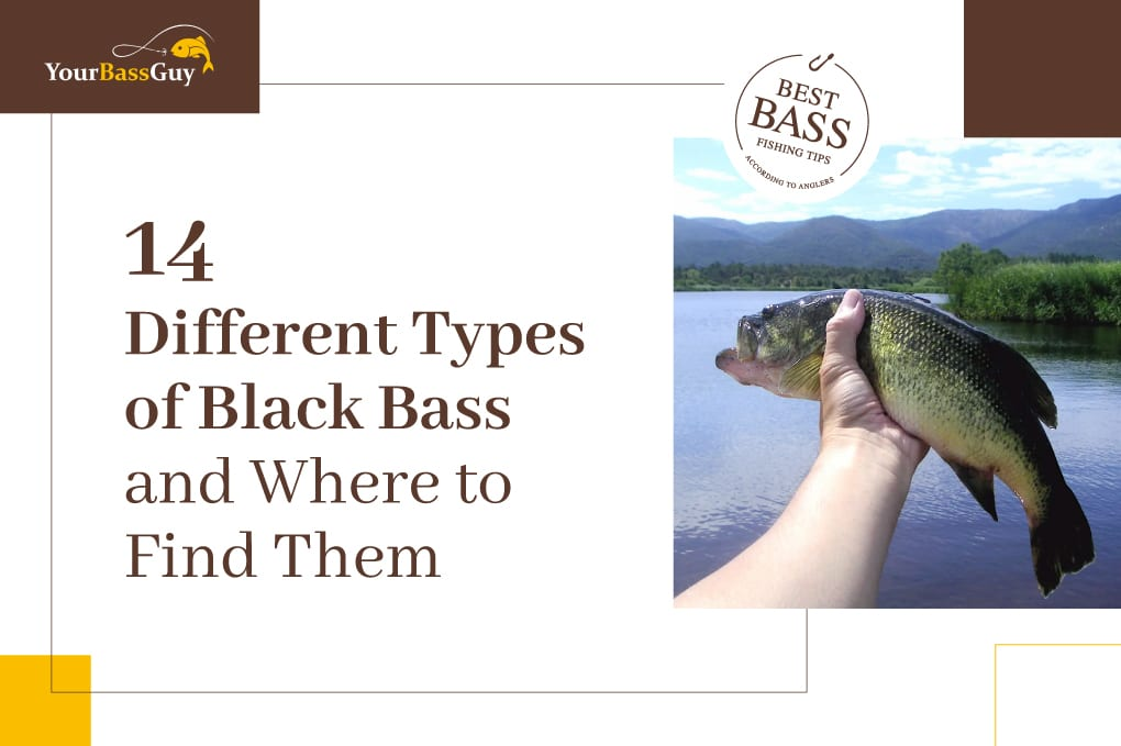 Black bass featured image