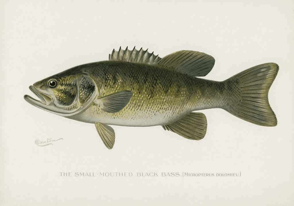The small mounted black bass