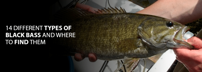 14 Different Types of Black Bass and Where to Find Them
