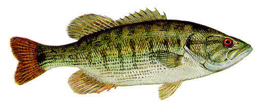 Can You Eat Red Eye Bass?