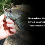 Redeye Bass: How to Find, Identify, & Catch These Incredible Fish