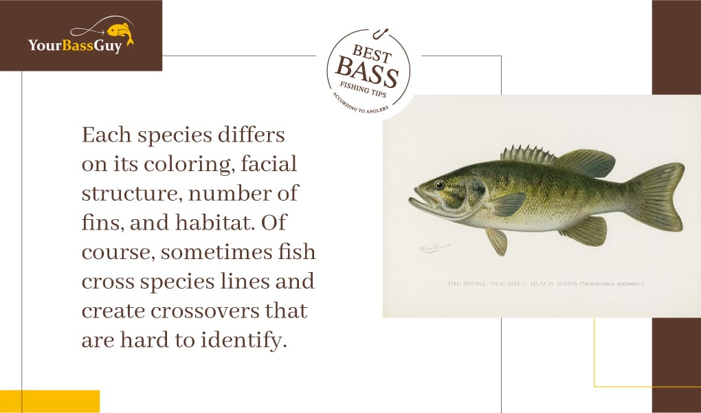 Black bass species characteristics