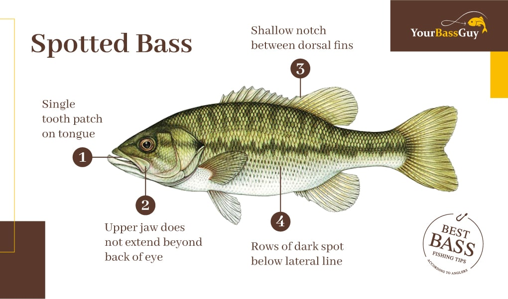 Spotted bass picture