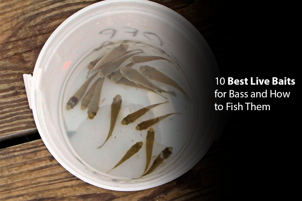 10 Best Live Baits for Bass and How to Fish Them